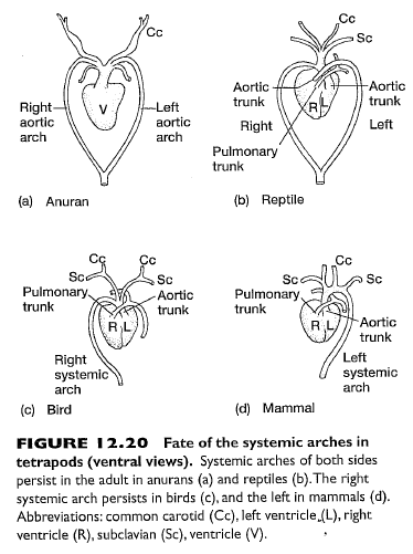 Aortic arches this diagram zooms in to show just the fate of aortic arches this diagram zooms in to show just the fate of the ccuart Images