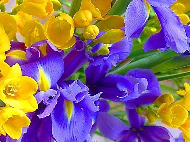 lilas y amarillas