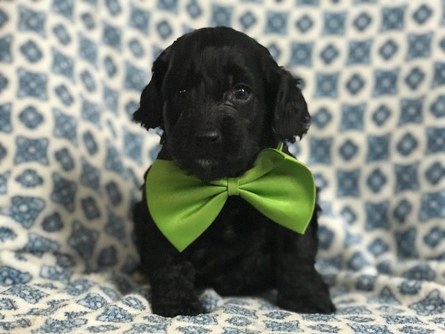 Cocker Spaniel-Poodle Miniature Mix Puppy For Sale In -1367