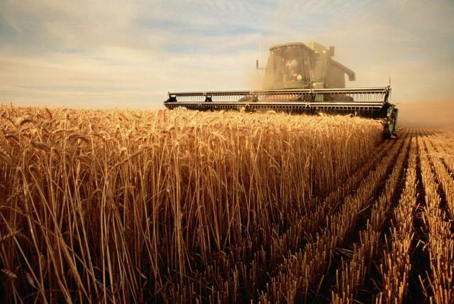 Is GMO Wheat Increasing Celiac Disease and Gluten