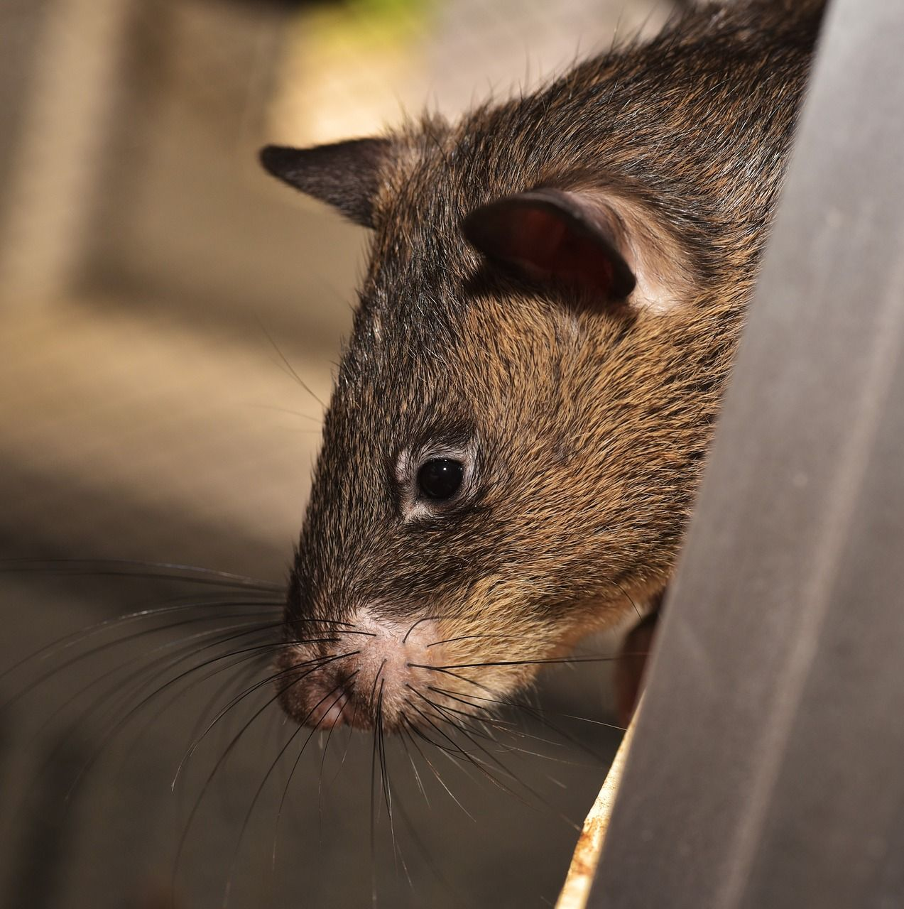 Ratte Riesenratte Gambia Ratte Riesenhamsterratte Farbratten Haustiere Riesenhamsterratte