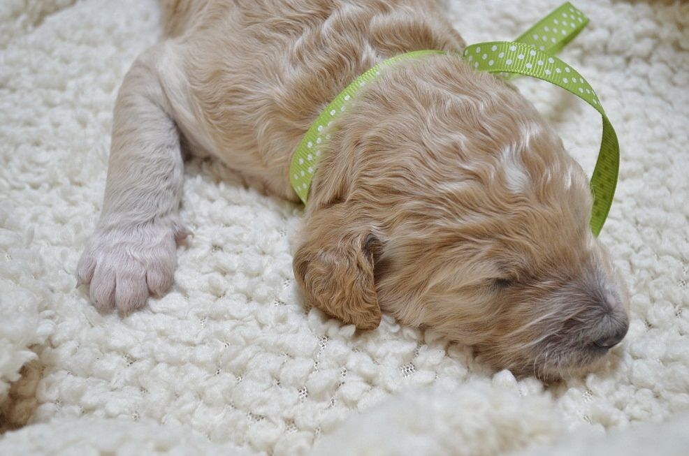 Goldendoodle Puppy 2 Weeks Old Goldendoodle puppy