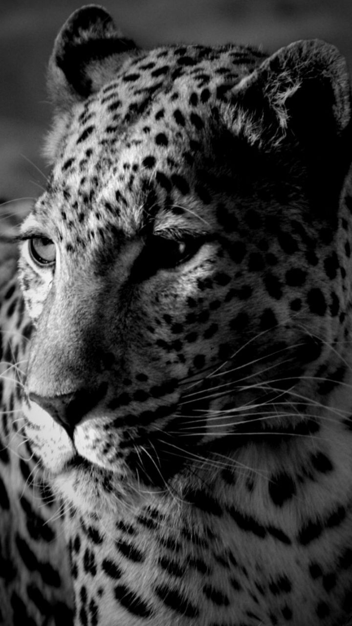 Cheetah Wild Animal Black While Iphone Wallpaper Mobile9
