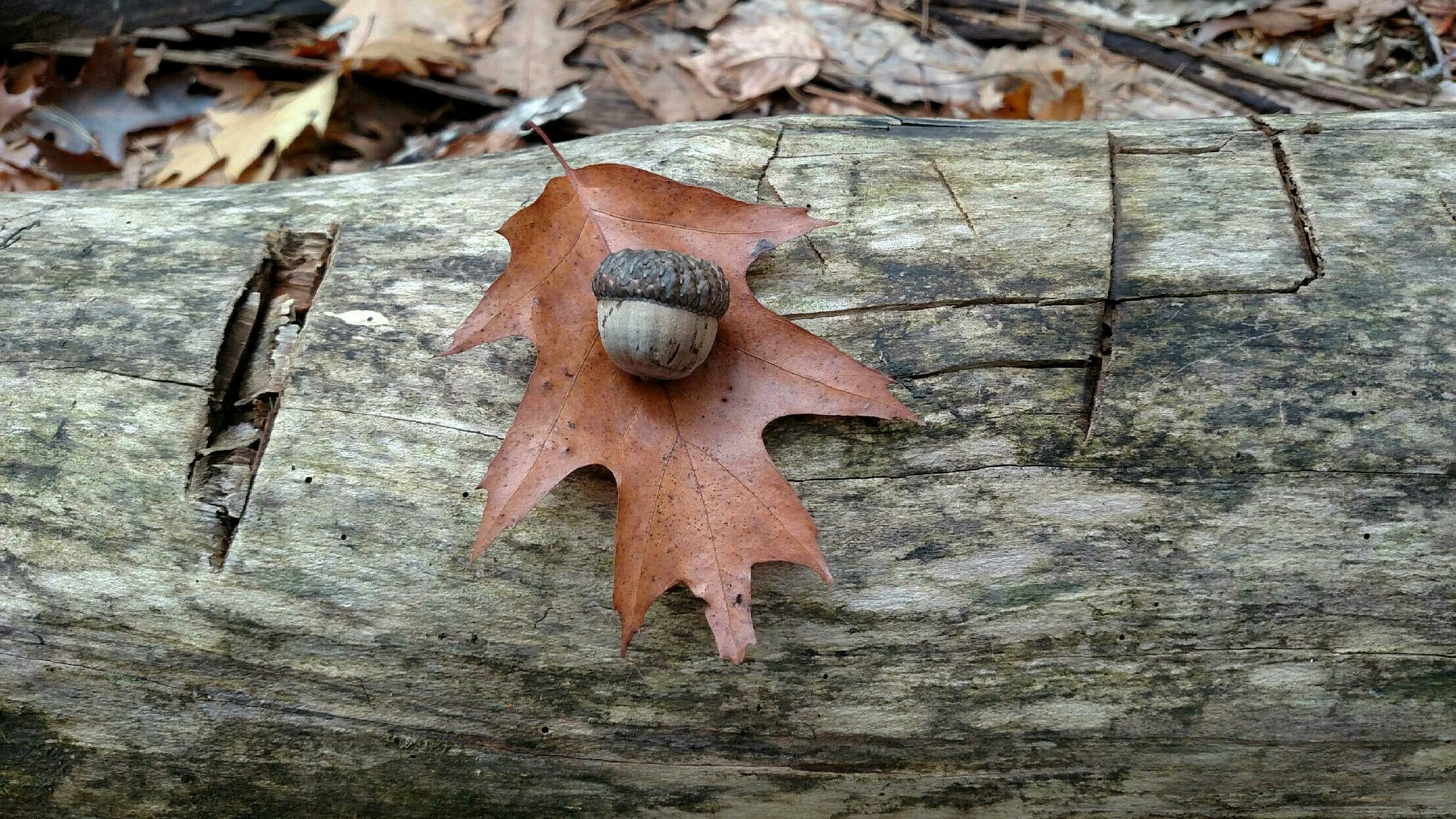 Pin by yvonne emmett sones on acorns and the mighty oak pinterest find this pin and more on acorns and the mighty oak by yvo54 buycottarizona Image collections