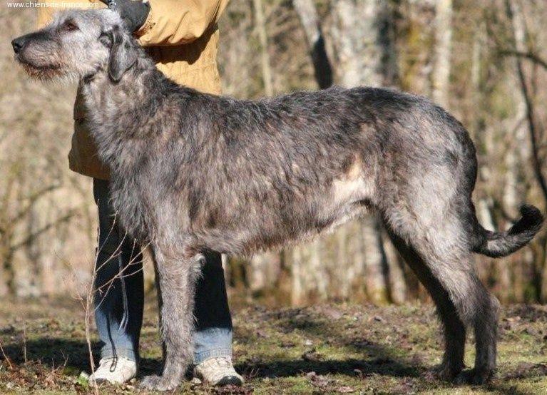 irish woolfhound