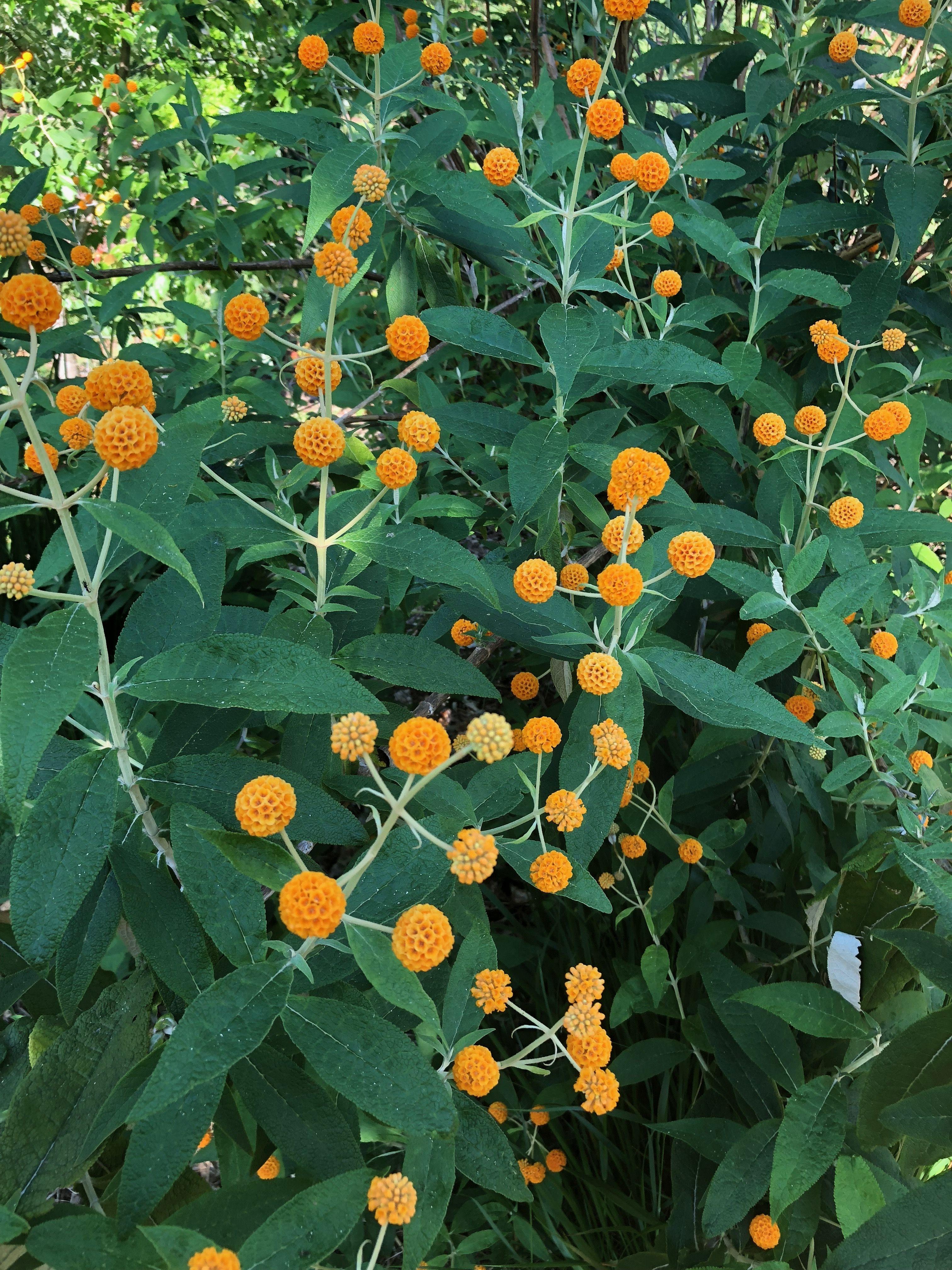 Buddleia Globosa Flowering Shrubs Shrubs Herbaceous Border