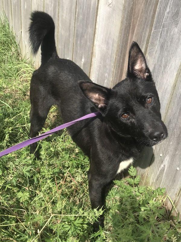 Australian Kelpie Dog For Adoption In Jackson Ms Adn 650011 On