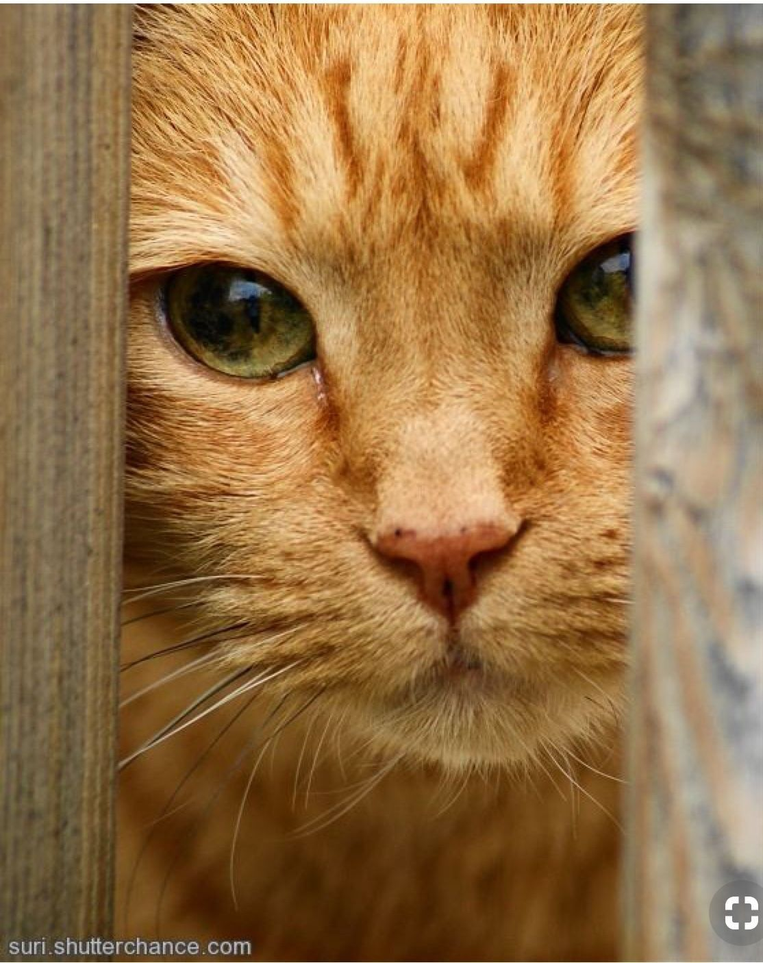 Ginger cat Orange tabby cats, Cute cats, Pretty cats