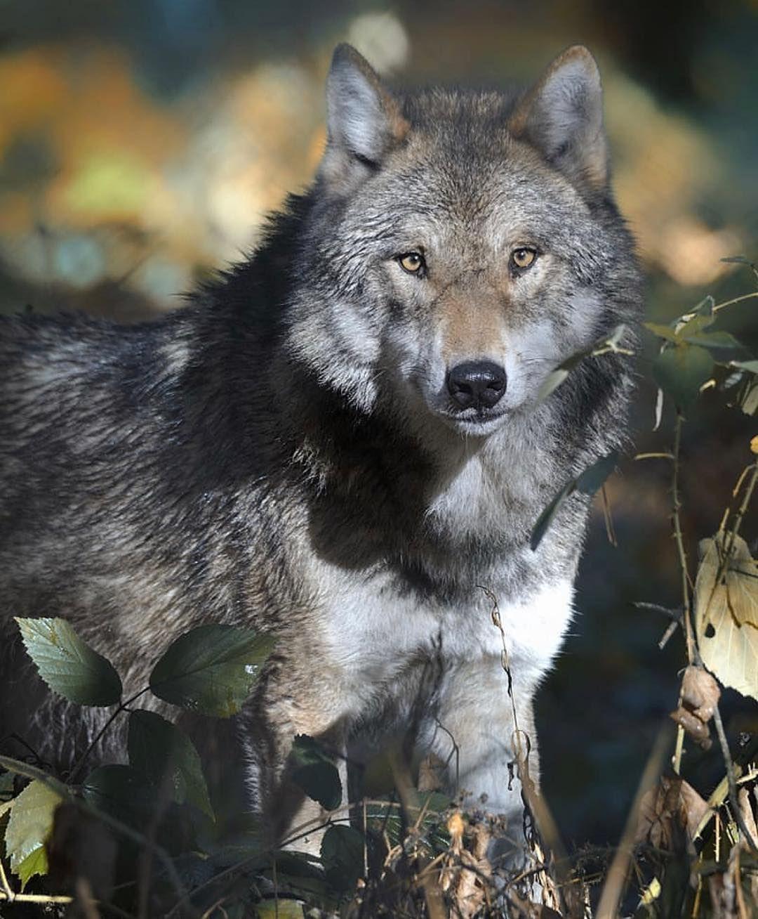 природы годам фотографии степного волка натюрморте маками