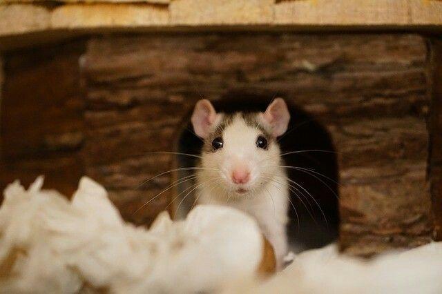 Pin Von Wordofmouse2 Auf Mouseleum Mit Bildern Susse Ratten Ratten