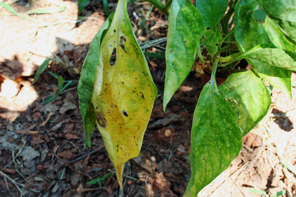 Many Home Gardeners Enjoy Growing Peppers But When Pepper Plant Leaves Turn Yellow This Can Leave A Garde Pepper Plants Yellow Leaves On Plants Yellow Leaves