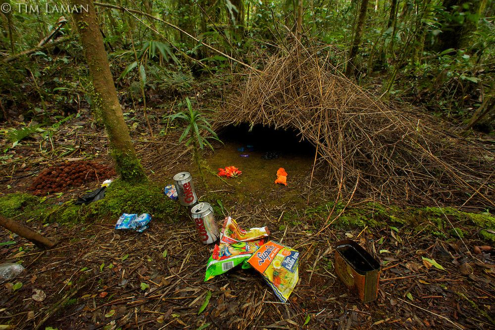 Nid d 39 oiseau jardinier brun nids d 39 oiseau for Recherche jardinier