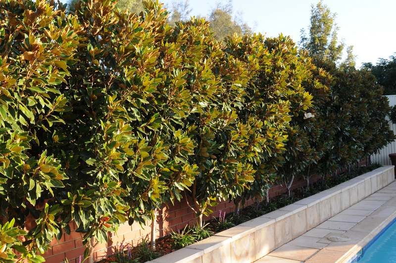 Little Gem Magnolia Tree Screen Dark Green Foliage Contrasts Well