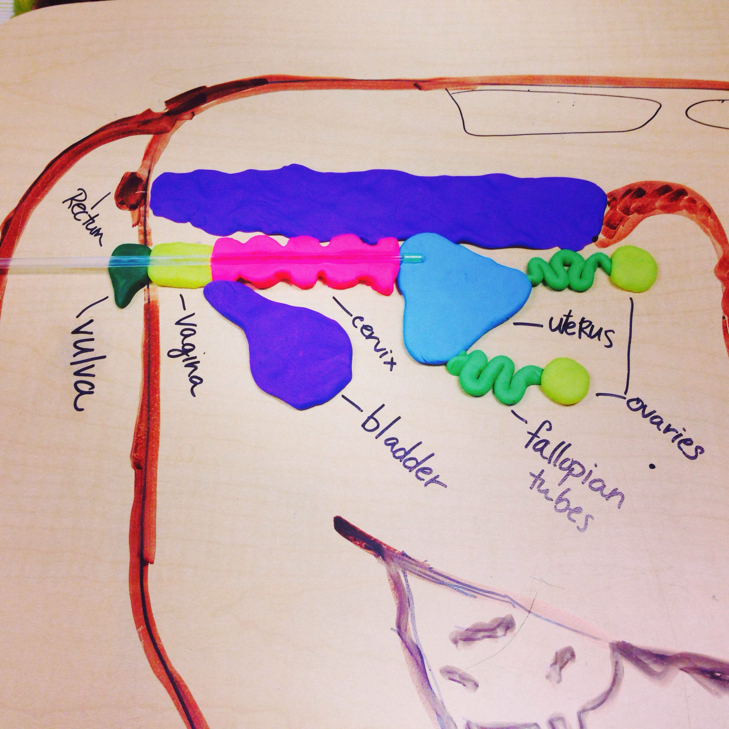 Cow reproductive tract made from play doh. - OLT | Animal Science ...