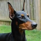 Doberman Ear Cropping Styles Yahoo Image Search Results