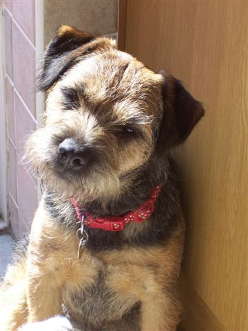 Border Terrier Dogs Puppy Border Terrier Pet Dogs Puppies
