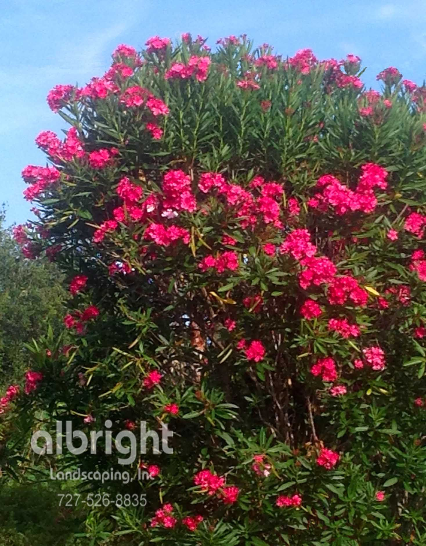 oleander shrub hot pink flowers colorful landscape. Black Bedroom Furniture Sets. Home Design Ideas