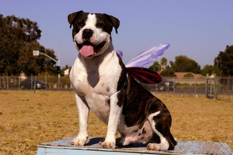 #rescue #adopt #urgent Meatball sam is an adoptable American Bulldog searching for a forever family near Vacaville, CA. Use Petfinder to find adoptable pets in your area.