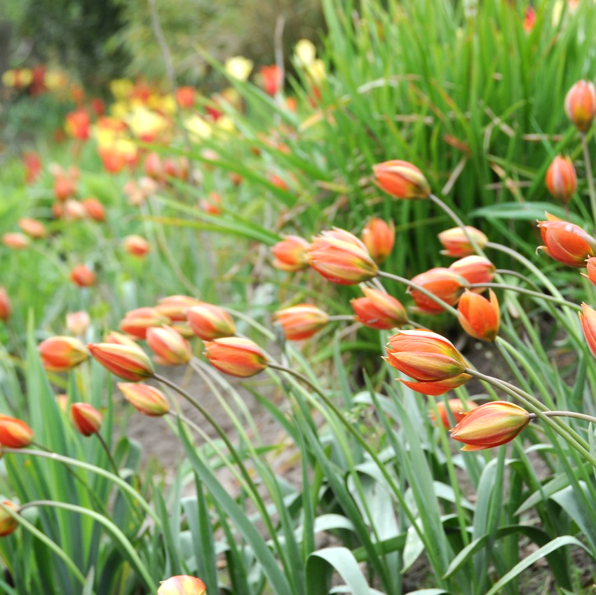 New For 2019 Tulipa Whittallii A Good Naturalizer Dating Back To 1929 It Has Star Shaped Glowing Yellow Orange Flowers Botanical Tulip Bulb Flowers Tulips