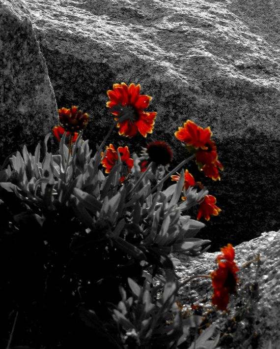 Floral Black And Grey Nature Tattoo: Indian Paintbrush III Nature Photography By