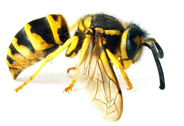 Yellowjacket Or Yellow Jacket Is The Common Name In North America