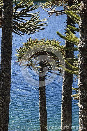 Árbol De La Araucaria - Descarga De Over 33 Millones de fotos de alta calidad e imágenes Vectores% ee%. Inscríbete GRATIS hoy. Imagen: 29626341