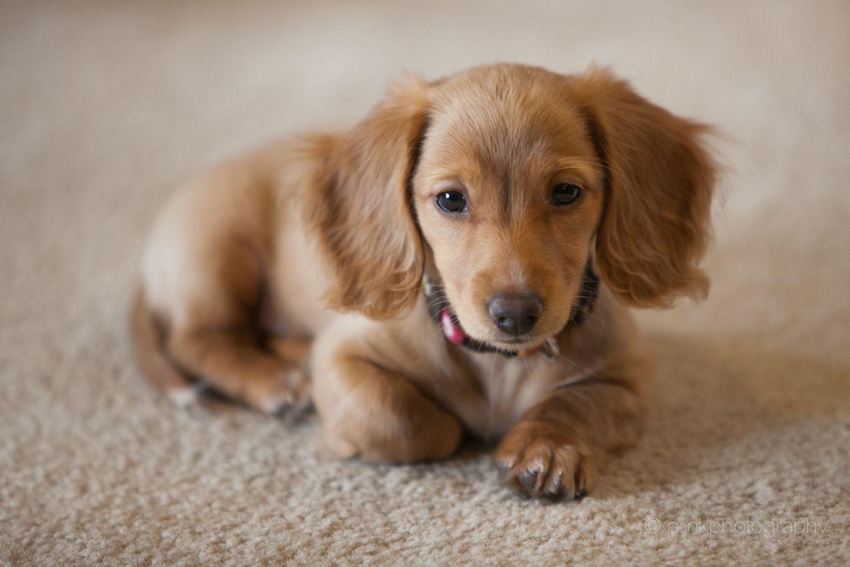 What? Miniature Long Haired Dachsund Dachshund puppy