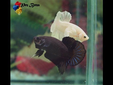 pez betta el macho se quiere reproducir
