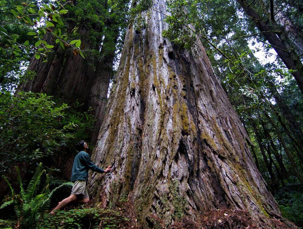 Das Ist Der Hochste Baum Der Welt Und Sein Standort Ist Geheim Baum Naturwunder Welt