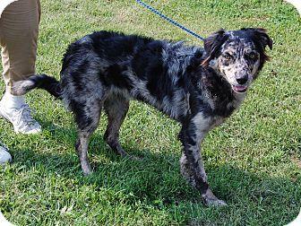 North Judson, IN - Australian Shepherd Mix. Meet Cinder, a dog for adoption. http://www.adoptapet.com/pet/11520723-north-judson-indiana-australian-shepherd-mix