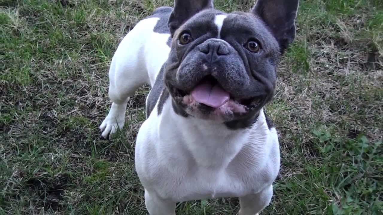 Most Ripped French Bulldog Quot Carter Flexing Quot