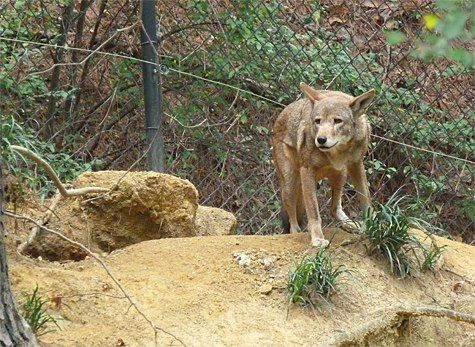 Red wolf at Museum of Life and Science, a Red Wolf Species Survival Plan participant, photo credit theirs.