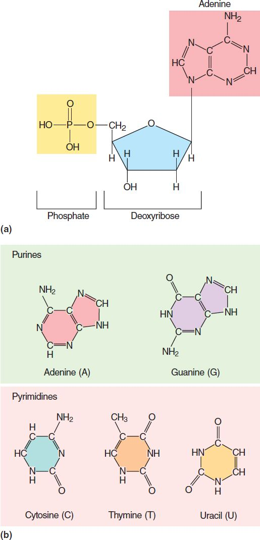 this picture shows the structure of the nitrogenous bases there are