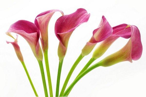 Cantedeskia Kwiaty