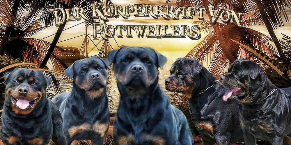 Dkv Rottweilers German Rottweiler Breeder Offering Rottweiler