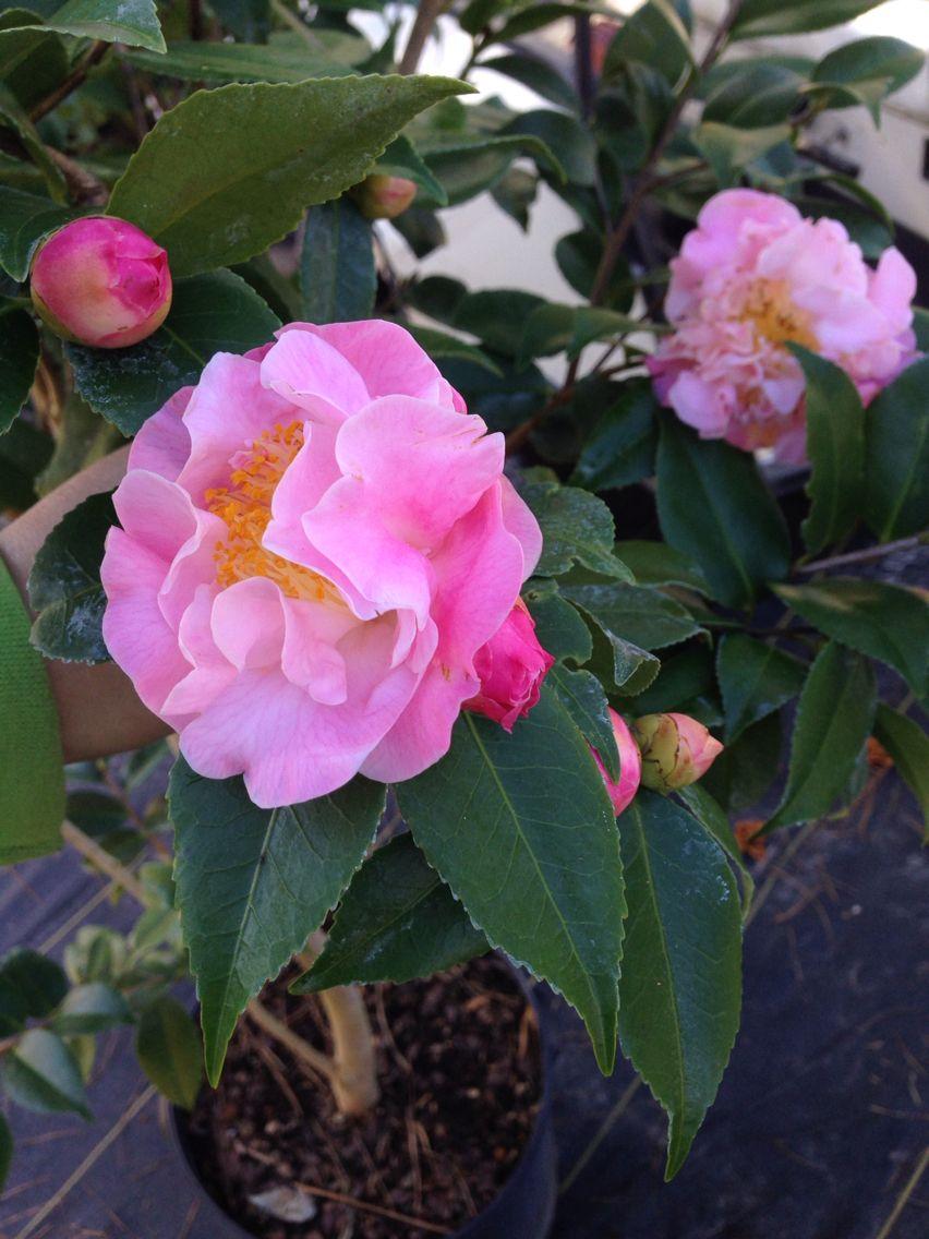 Camellia High Fragrance Camellia Fragrance