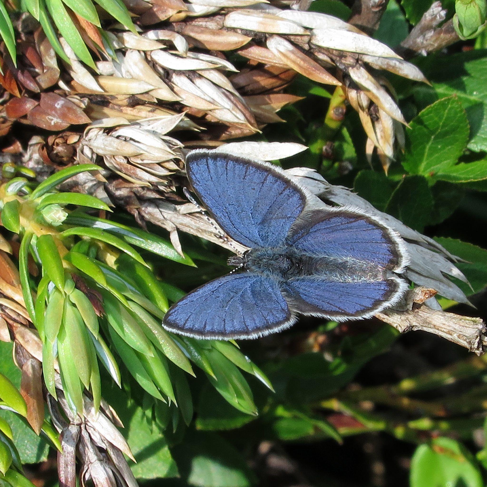 Cranberry-Blue: Plebejus optilete - Flickr - Photo Sharing!