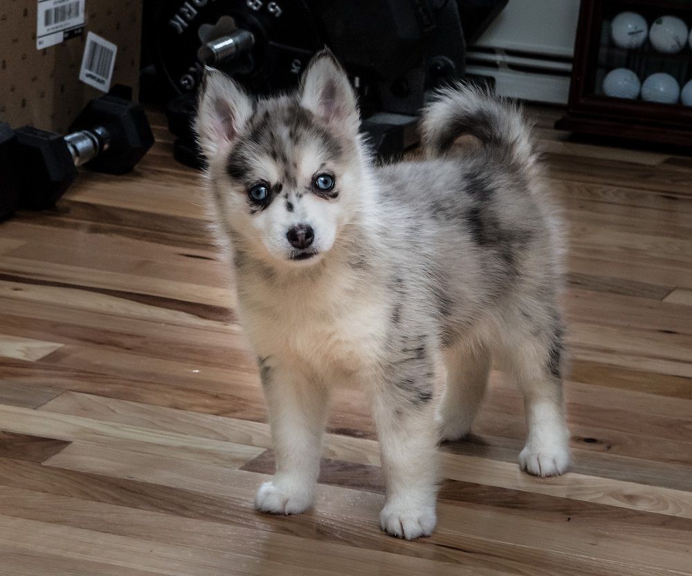 Pin By Smartdogstuff On Dog Breeds Pomsky Puppies Most Beautiful Dog Breeds Unique Dog Breeds