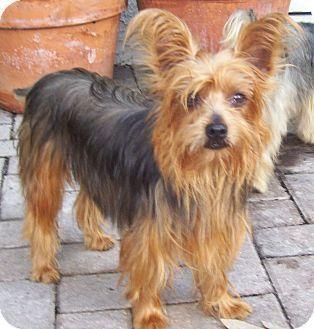 Cape Coral Fl Yorkie Yorkshire Terrier Meet Flame A Dog For Adoption Yorkshire Terrier Yorkie Dog Adoption