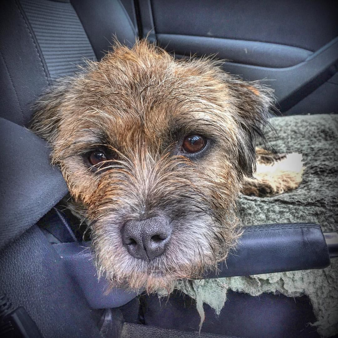 All Borderterriers Know That Handbrakes Were Invented For Bts To