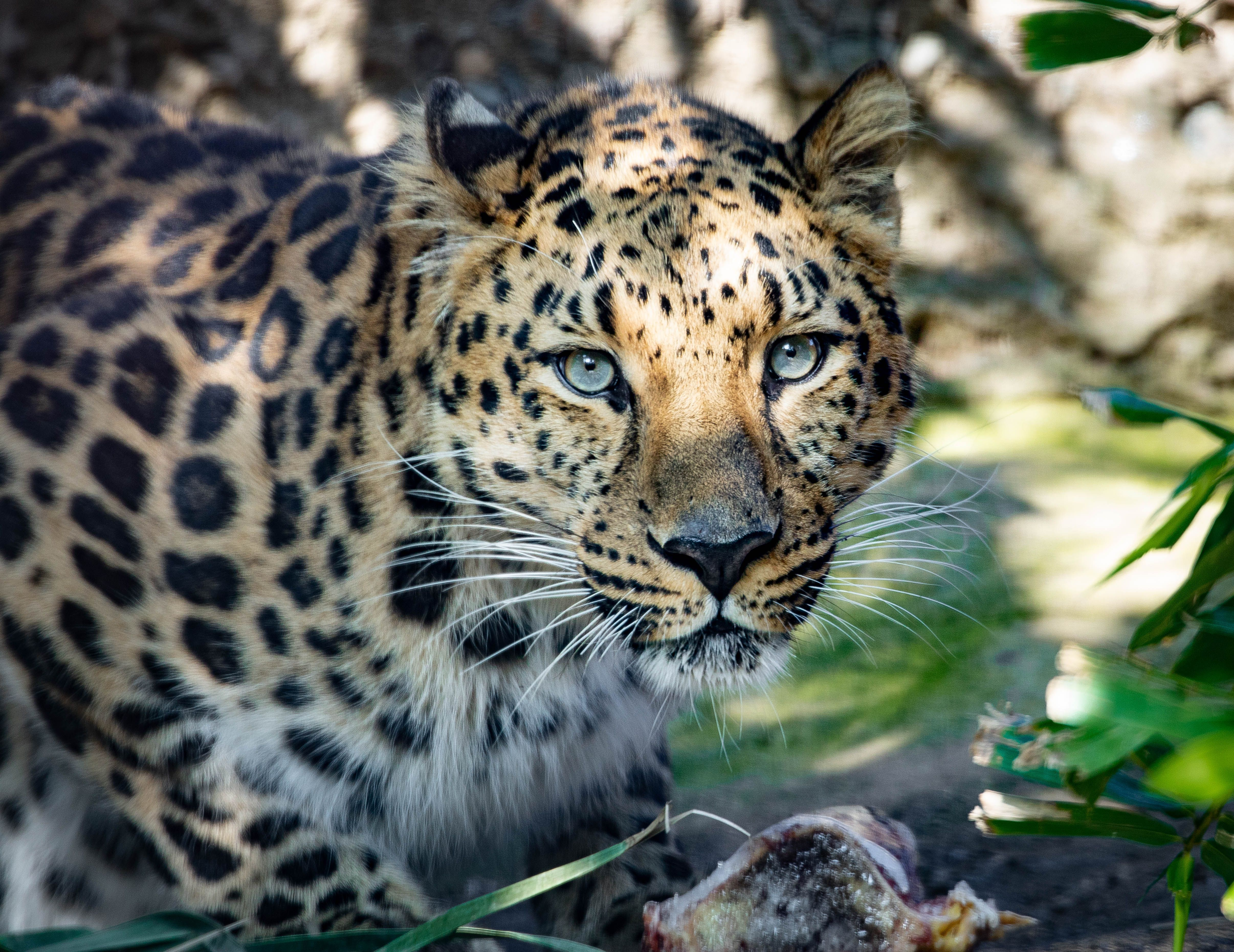 Leopard Eyes Leopard Amurleopard 2020