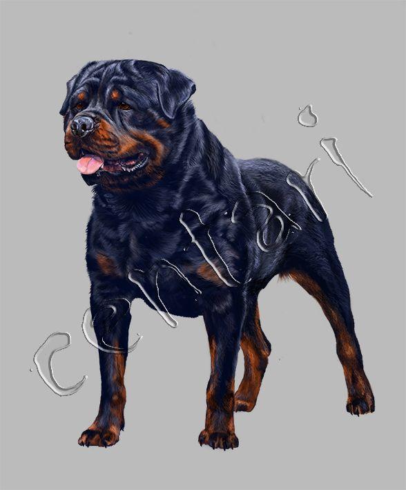 main d0b3d0bed182d0bed0b2rottweiler dog  dogs