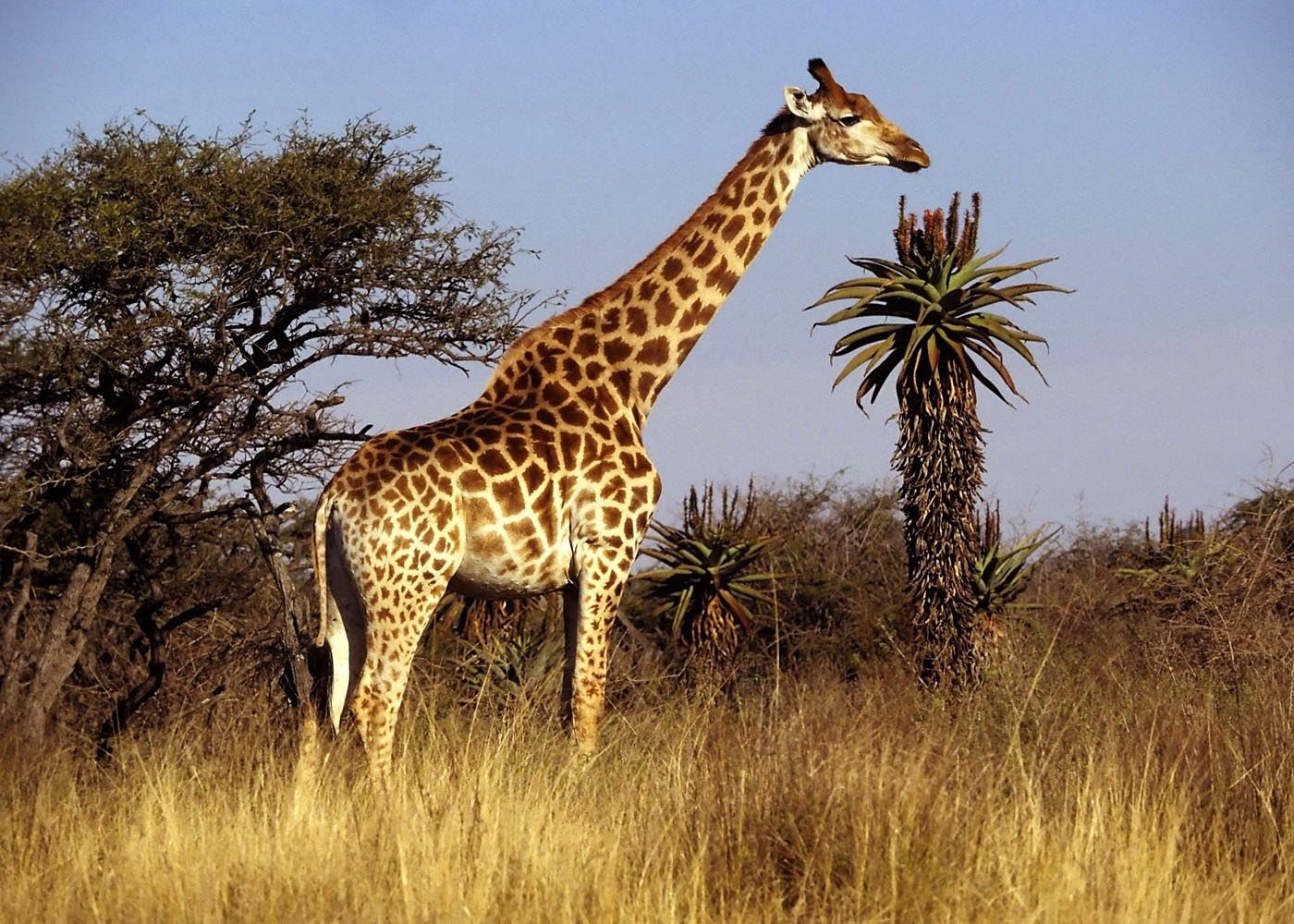 Giraffe HD Wallpapers Free Download