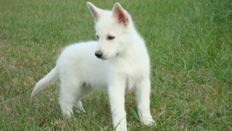 Pictures Of White German Shepherd Puppies White German Shepherd