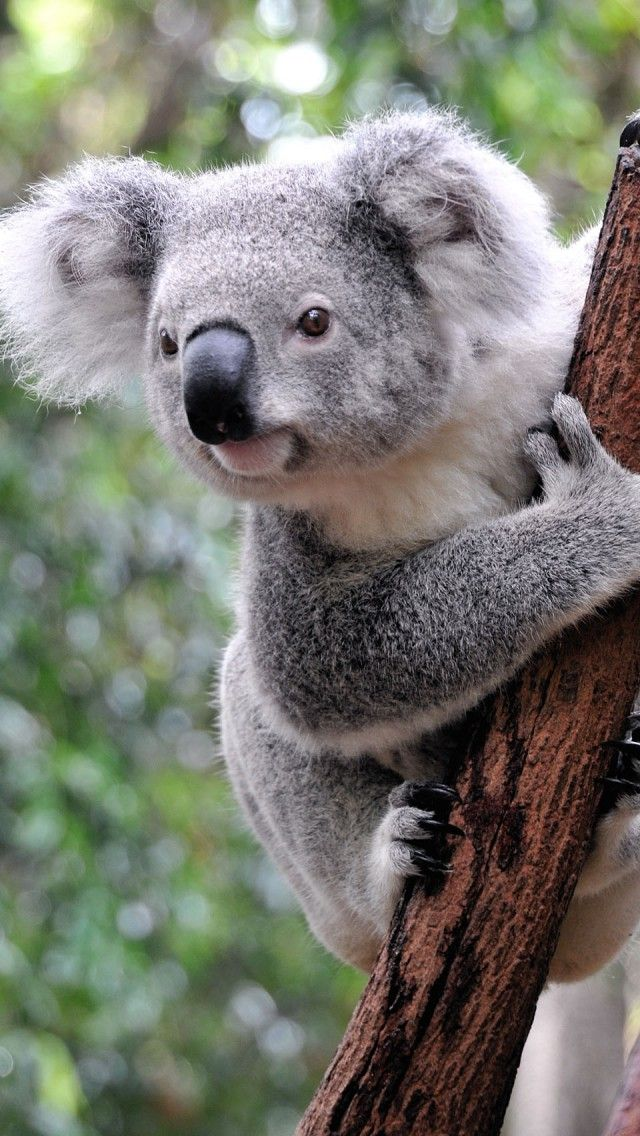Curious Koala Hd Iphone Wallpapers Cute Animals Koala Bear Animals