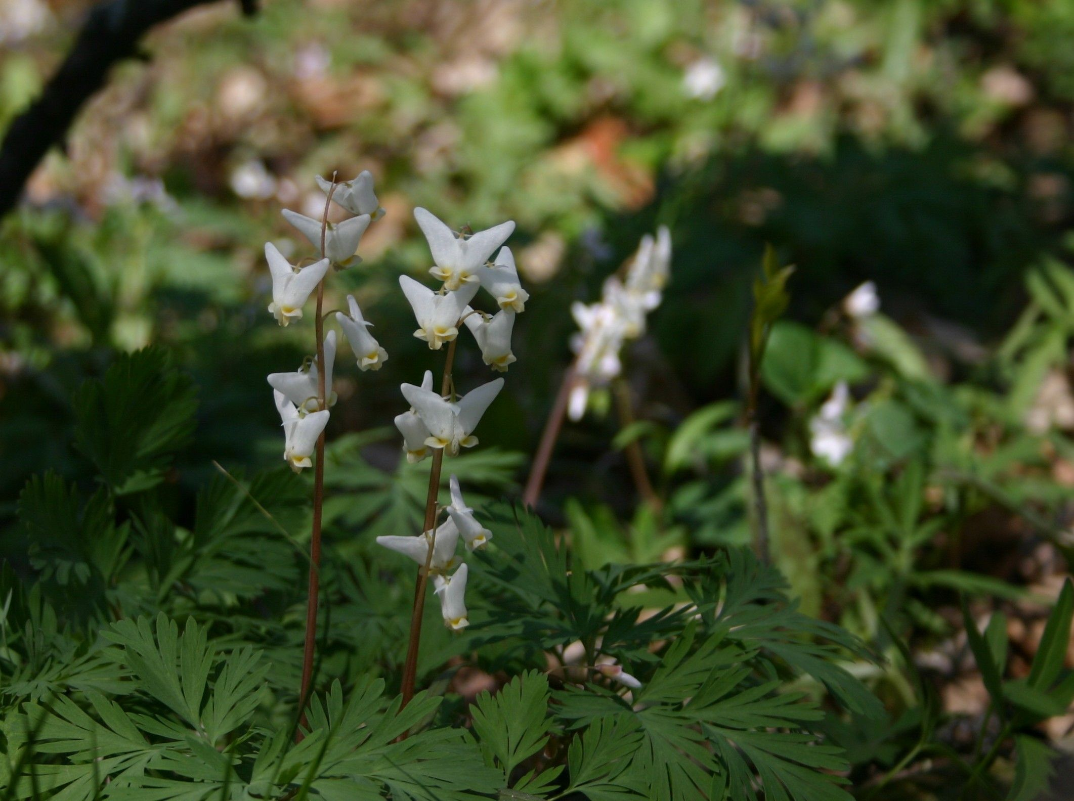 Dutchmens Breeches Woodland Flowers That Grow In Our Woods In The