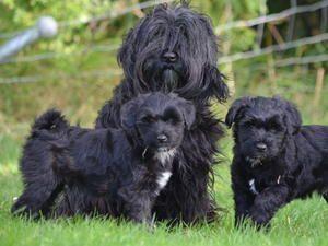 Pedigree Kc Registered Tibetan Terrier Puppies In Spalding