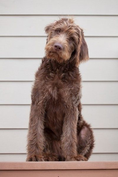 The Labradoodle Racket Chocolate Labradoodle Westminster Dog