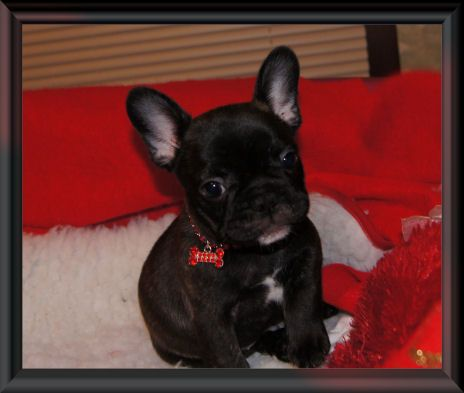 French Bulldog Puppies For Sale Minnesota Breeder French Bulldog