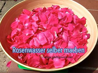 Rosenwasser selber machen: 2 Rezepte mit Anleitung   Philognosie
